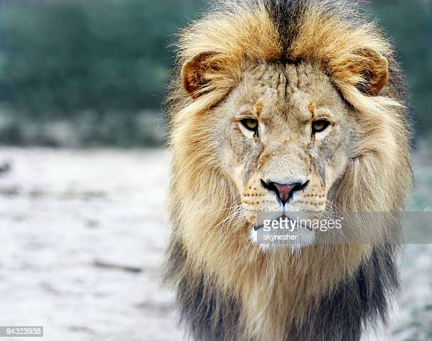 portrait of a big male lion - lion feline stock pictures, royalty-free photos & images