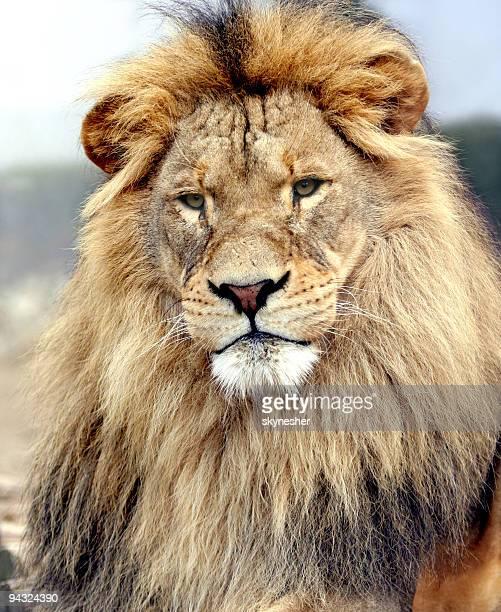 Portrait of a big male lion