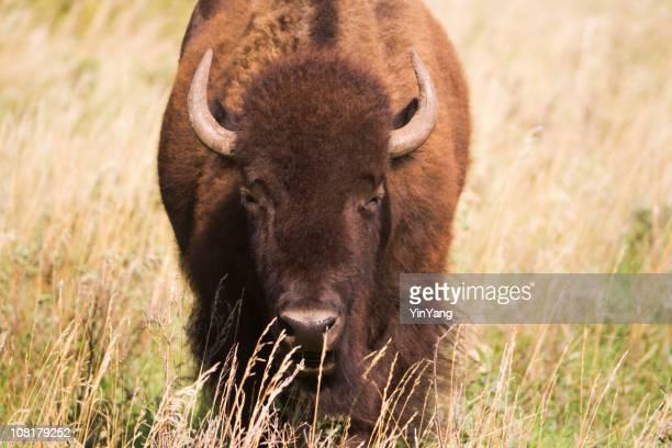 Portrait d'un Bison Hz