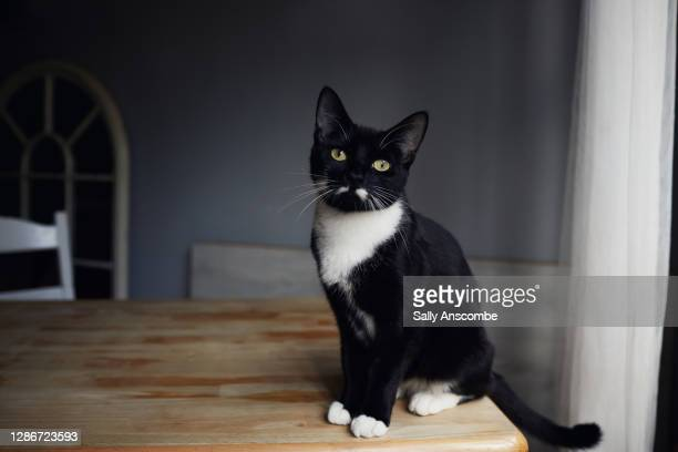 portrait of a black and white cat - whisker stock pictures, royalty-free photos & images