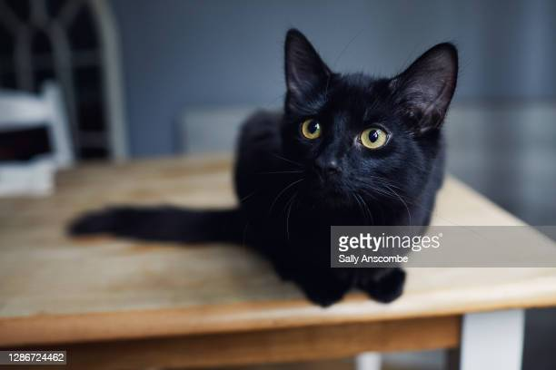 portrait of a black cat - whisker stock pictures, royalty-free photos & images