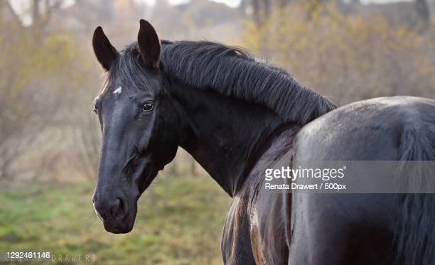 portrait of a black horse,polska,poland - animal head stock pictures, royalty-free photos & images
