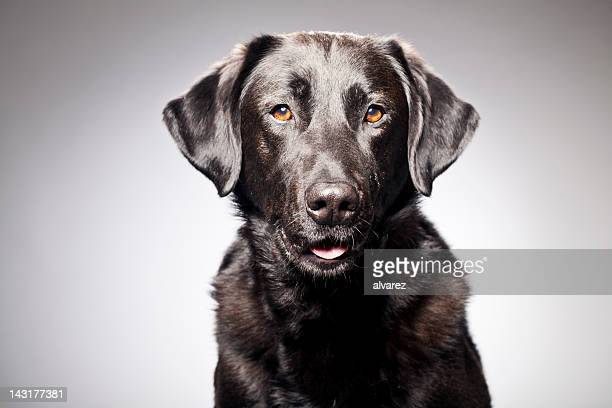 portrait of a black labrador - one animal stock photos and pictures