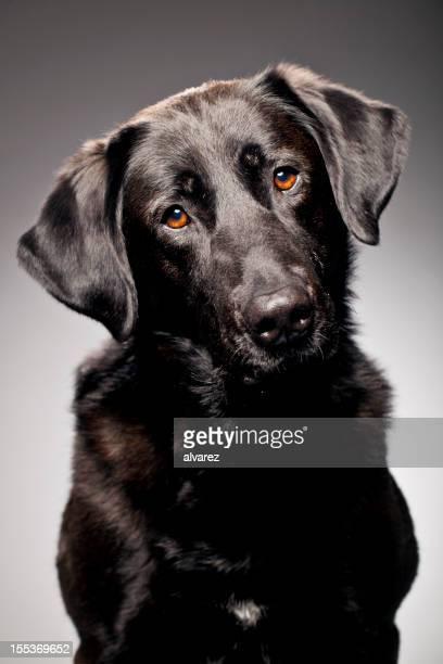 Ritratto di un Labrador retriever nero