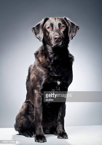 Retrato de Labrador preto
