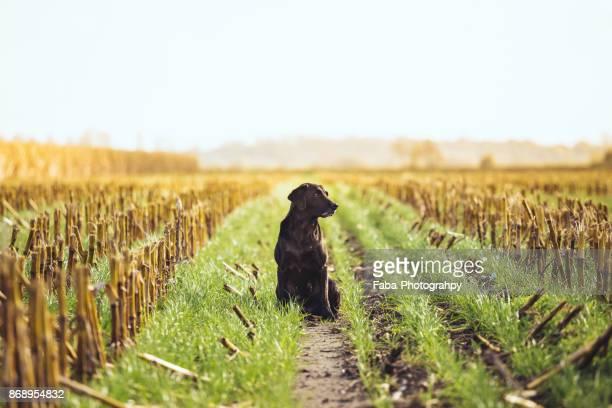 portrait of a black labrador - cão adestrado - fotografias e filmes do acervo