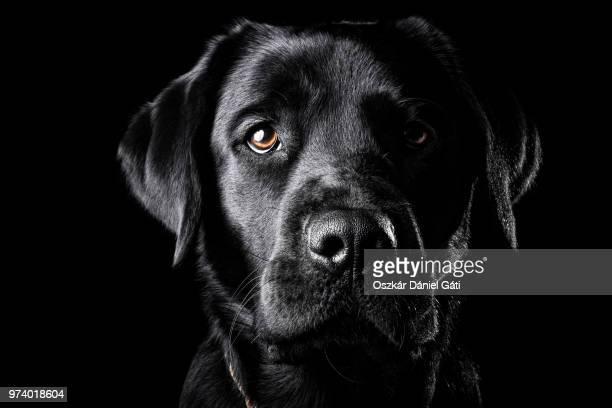 portrait of a black labrador. - animaux domestiques photos et images de collection