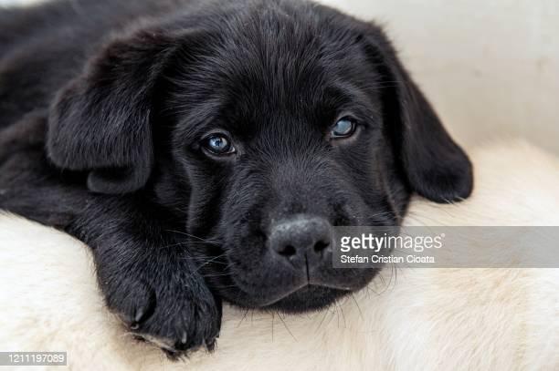 portrait of a black labrador puppy - cristian neri foto e immagini stock