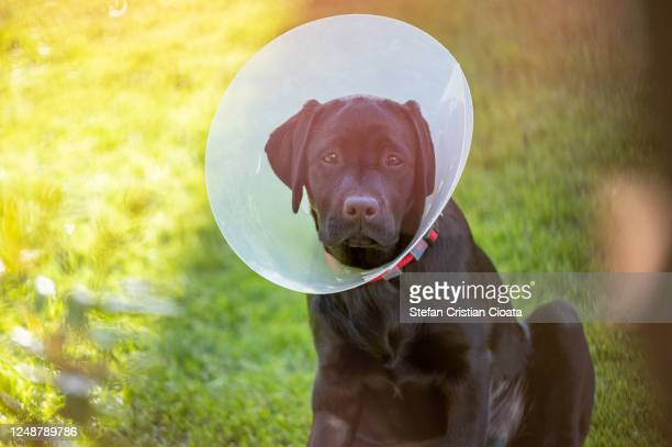 portrait of a black labrador retreiver wearing a dog cone - protective collar stock pictures, royalty-free photos & images