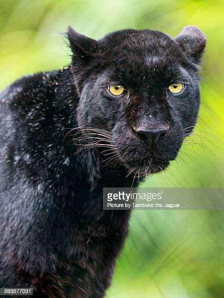 Portrait of a black leopard
