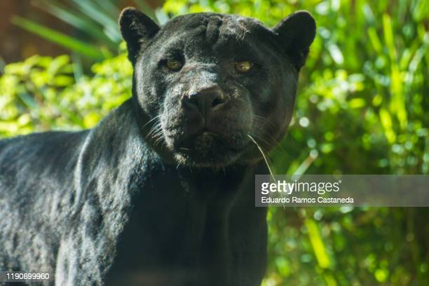 5 782 Black Tiger Photos And Premium High Res Pictures Getty Images