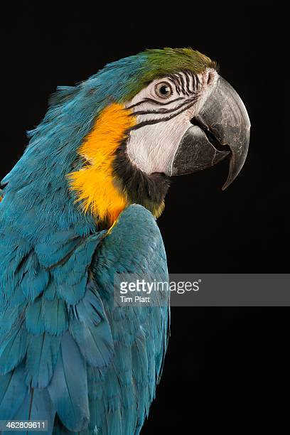 Portrait of a Blue and Gold Macaw.