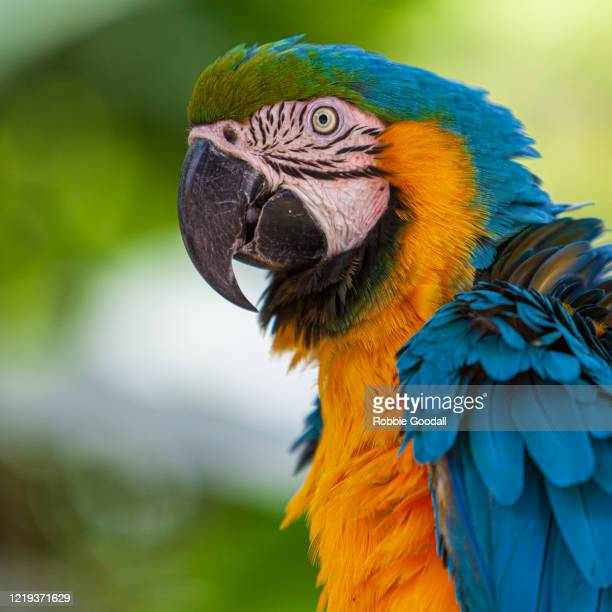 portrait of a blue and yellow macaw - macaw stock pictures, royalty-free photos & images