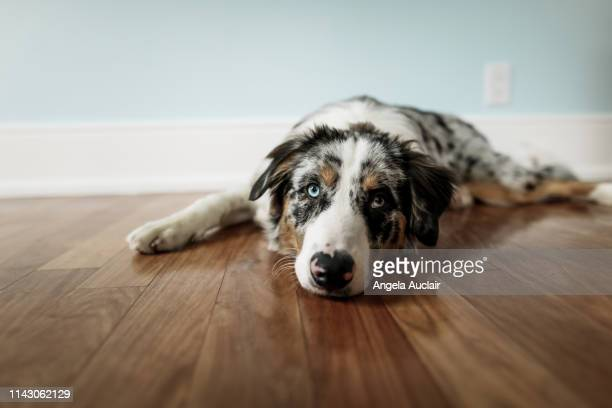 portrait of a blue merle australian shepherd puppy - angela auclair stock photos and pictures