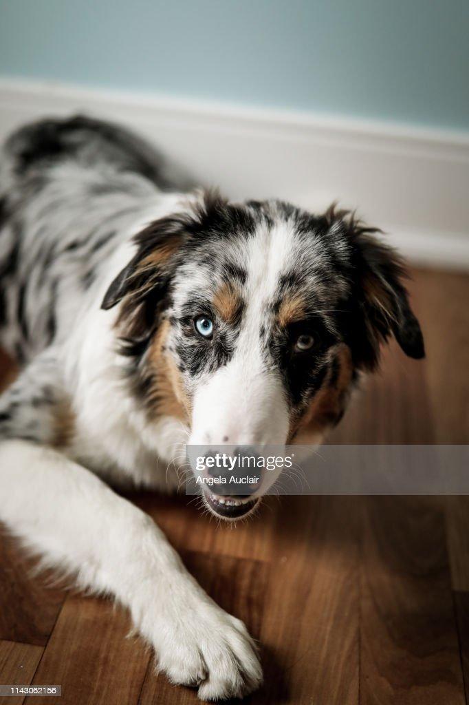 Portrait Of A Blue Merle Australian Shepherd Puppy Foto De Stock Getty Images
