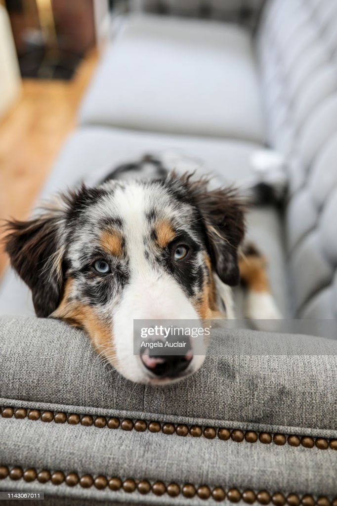 A Portrait Of A Blue Merle Australian Shepherd Puppy High Res Stock Photo Getty Images