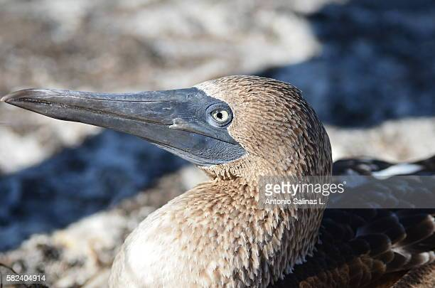 Portrait of a Blue-footed boobies