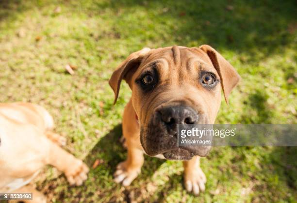 Portrait of a boerboel puppy at the park.