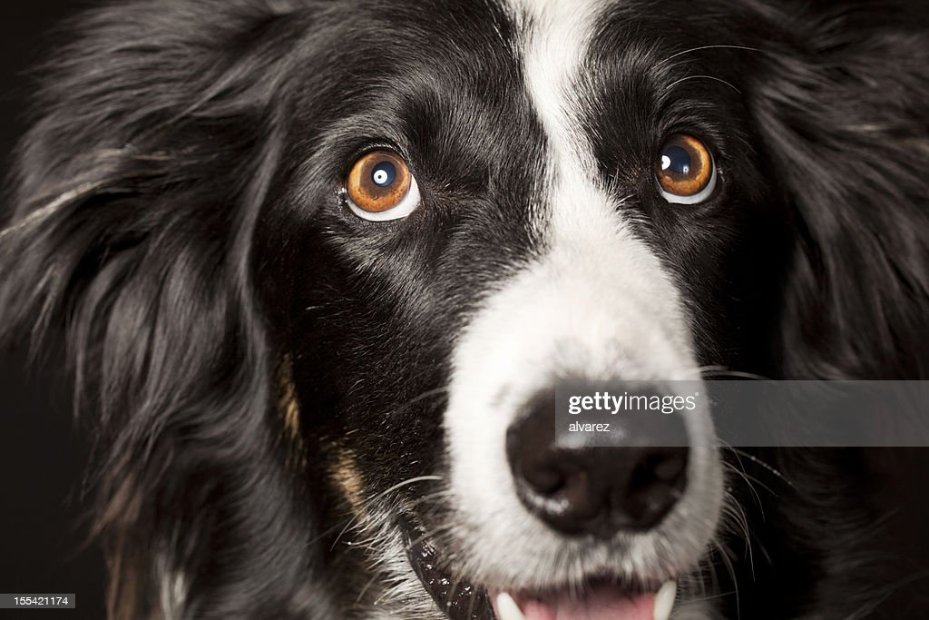 Portrait of a Border Collie : Stock Photo
