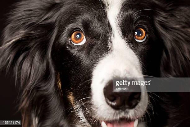 portrait of a border collie - border collie stock pictures, royalty-free photos & images