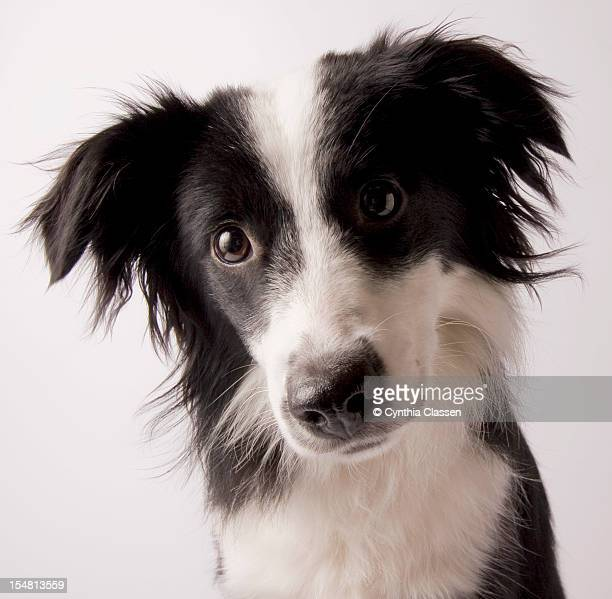 Portrait of a Border Collie/Australian Shepherd