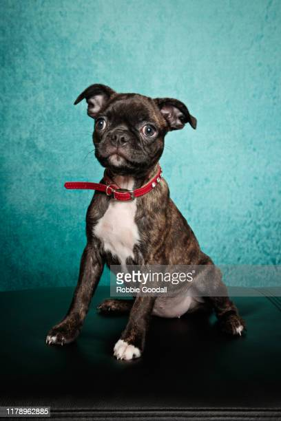 portrait of a boston terrier x pug wearing a red collar looking at the camera on a green background - boston terrier stock pictures, royalty-free photos & images