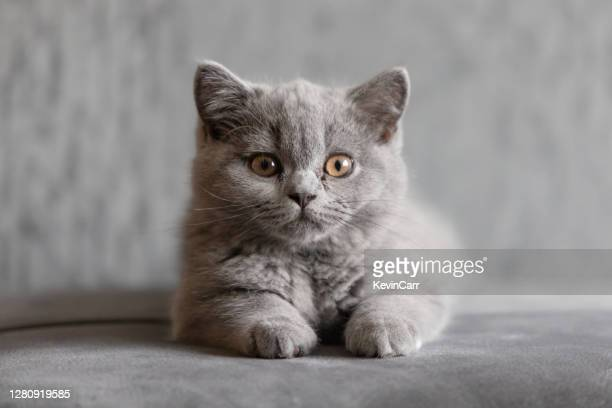portrait of a british shorthair blue kitten lying on carpet - british shorthair cat stock pictures, royalty-free photos & images