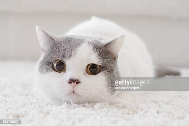 Portrait of a british shorthair cat lying on rug