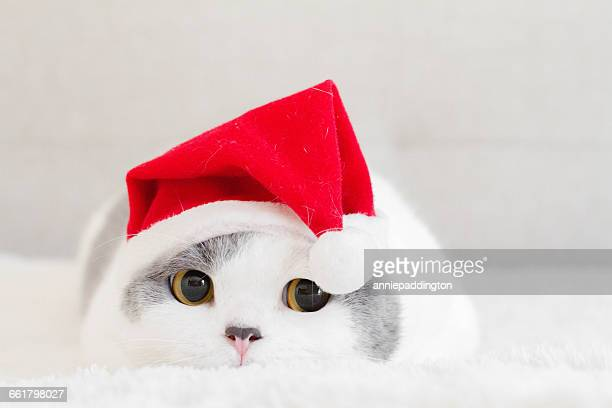 Portrait of a british shorthair cat lying on rug wearing christmas hat