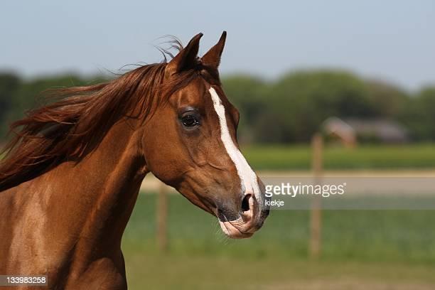 Portrait of a brown arabian mare