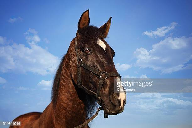 portrait of a brown horse - cris cantón photography stock pictures, royalty-free photos & images