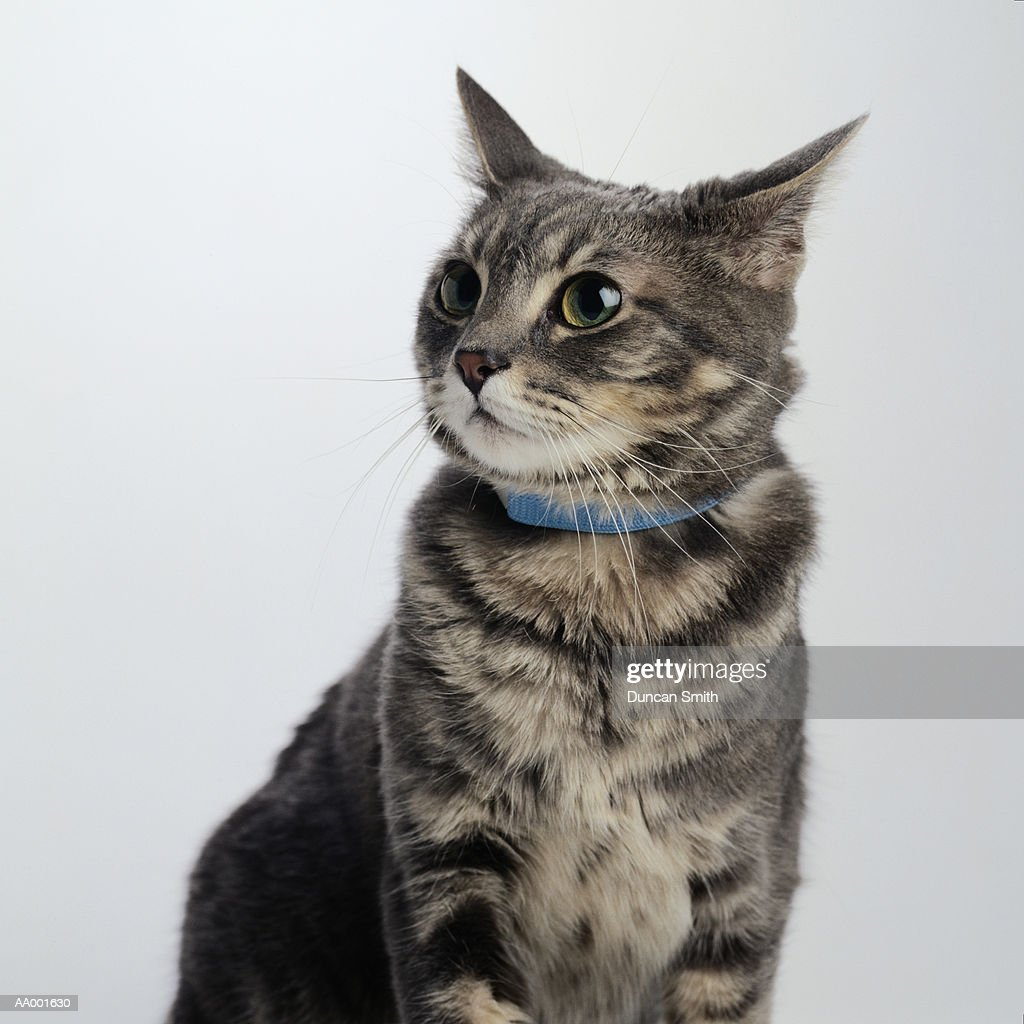 Portrait of a Brown Tabby Cat : Stock Photo