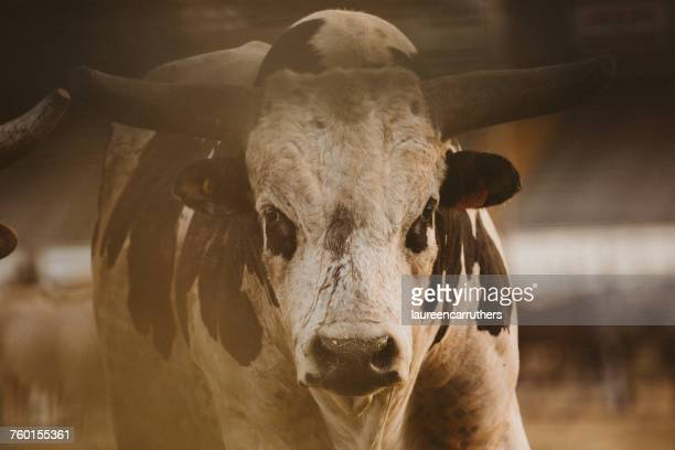 portrait of a bull at a rodeo - bullock stock photos and pictures