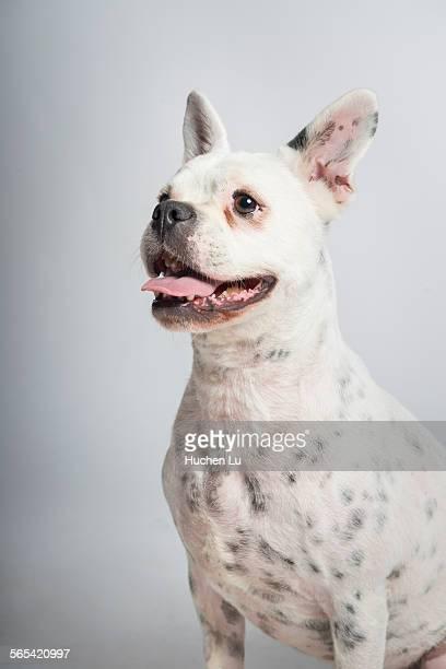 Portrait of a bulldog on white background
