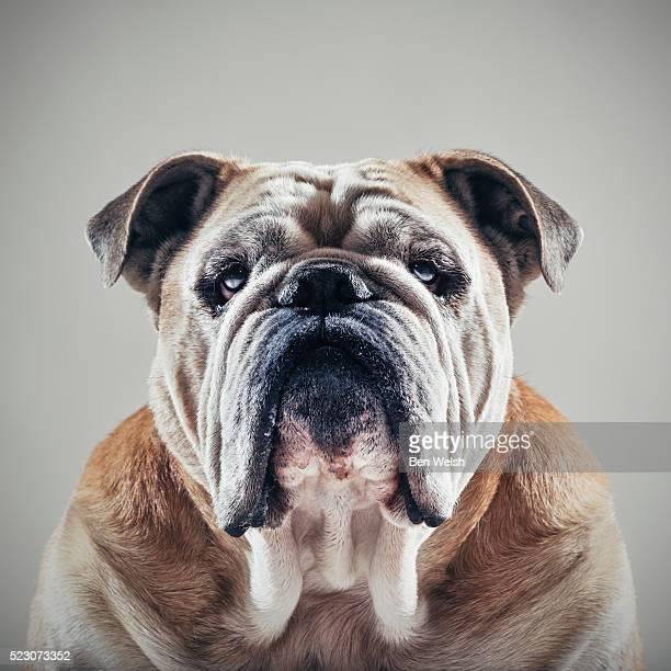 Portrait of a Bulldog.