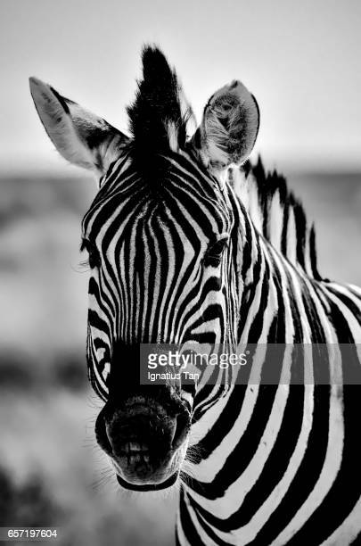 portrait of a burchell's zebra - ignatius tan stock photos and pictures