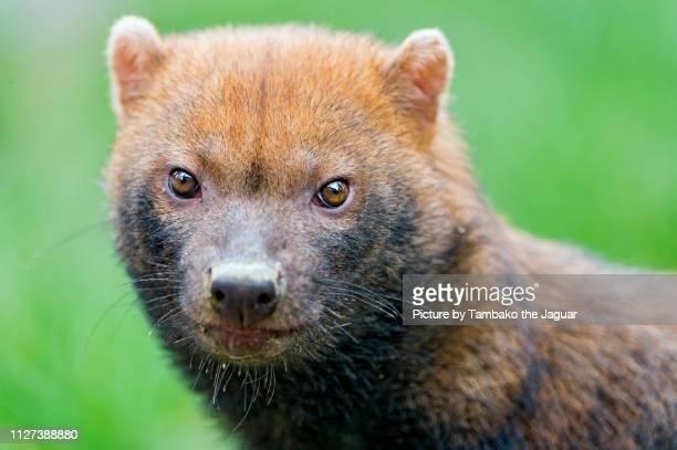 portrait of a bush dog - bush dog stock pictures, royalty-free photos & images
