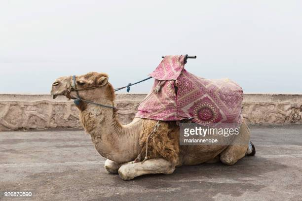 Portrait of a camel, Morocco