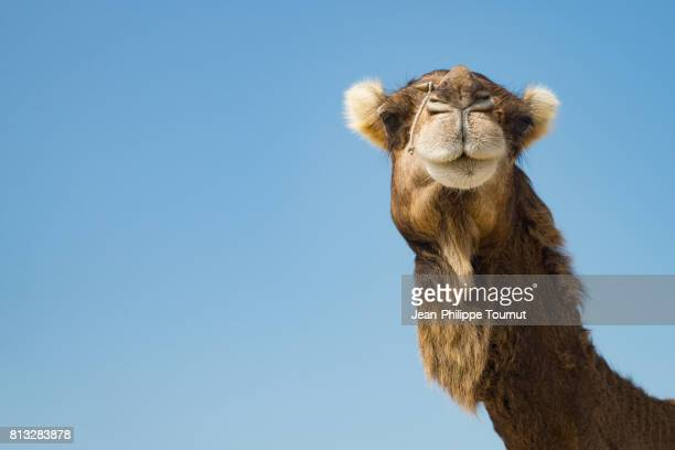 portrait of a camel, qeshm island, southern iran - camel stock pictures, royalty-free photos & images