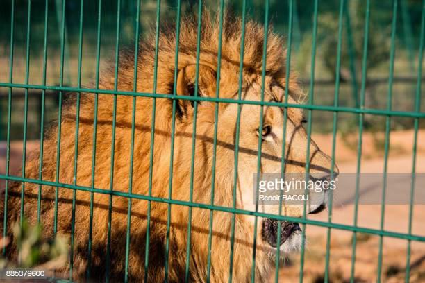 Portrait of a captive lion.