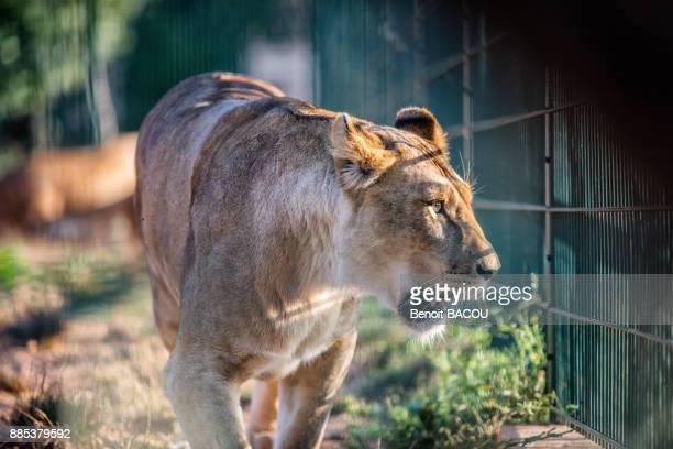Portrait of a captive lioness.