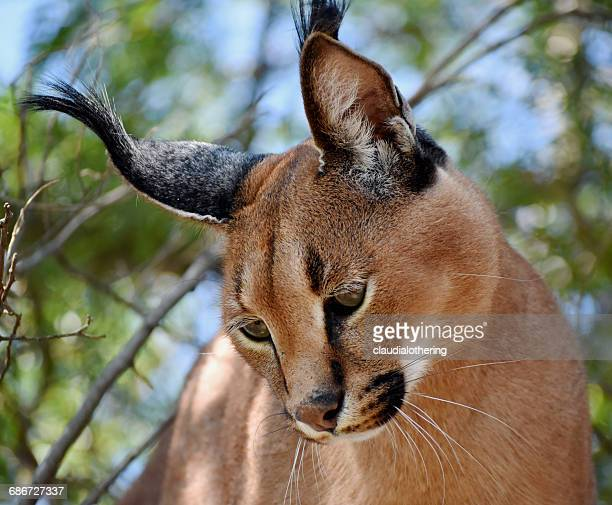 Portrait of a Caracal (caracal caracal), Limpopo, South Africa