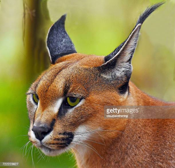 Portrait of a Caracal, Limpopo, South Africa