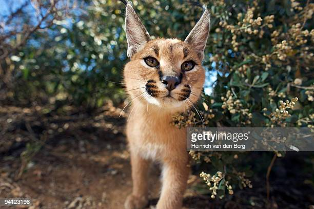 Portrait of a Caracal (Felis Caracal) looking at camera