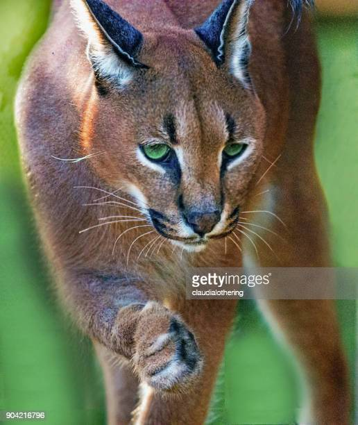 Portrait of a Caracal, South Africa
