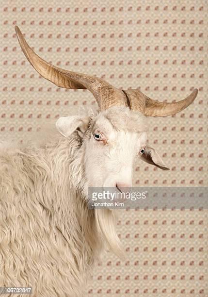 Portrait of a Cashmere Angora goat.