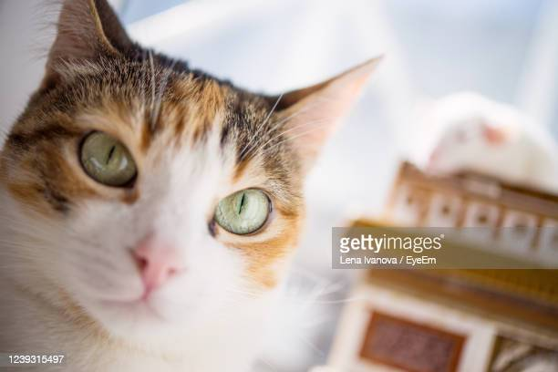 portrait of a cat - lena spoof stock pictures, royalty-free photos & images