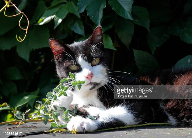 portrait of a cat - catmint stock pictures, royalty-free photos & images