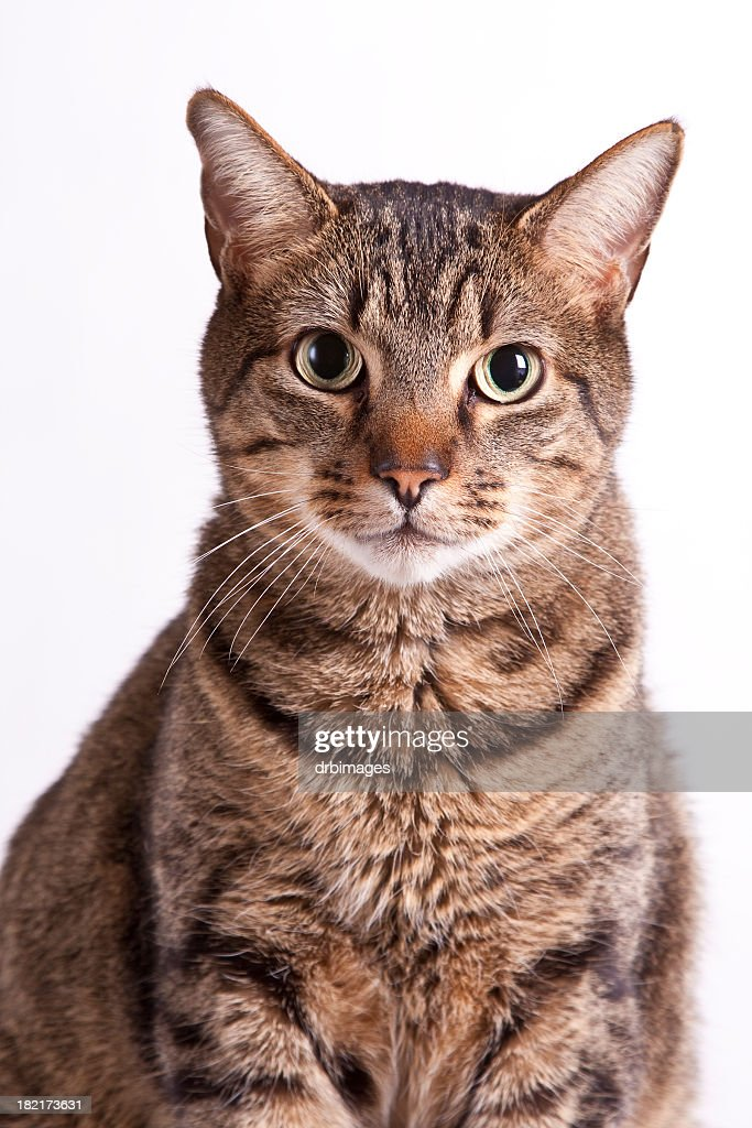1 604 Mixed Breed Cat Photos And Premium High Res Pictures Getty Images