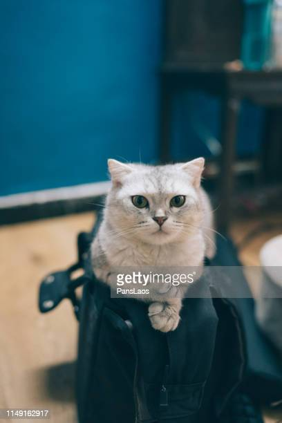 portrait of a cat resting on a backpack - purebred cat stock pictures, royalty-free photos & images